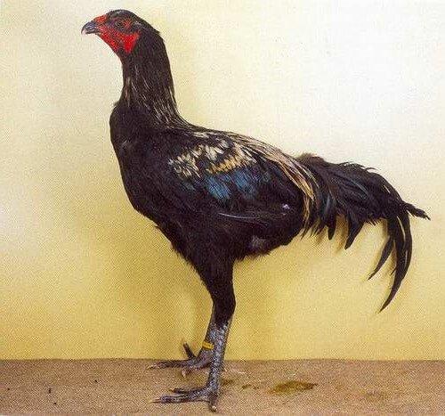 Люттихер порода кур.