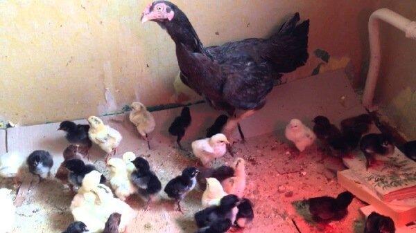 Несушка и цыплята породы Люттихер бойцовый.