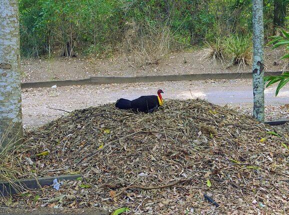 Петух породы сорные куры Большеноги на лиственной куче.