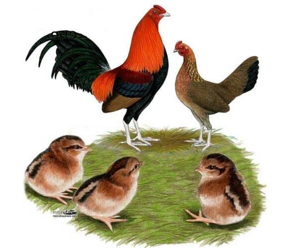 Староанглийская бойцовая порода кур – описание, фото и видео.