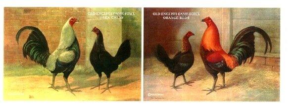 Староанглийская бойцовая порода кур.