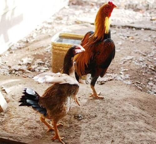 Хинт порода кур – описание с фото и видео.
