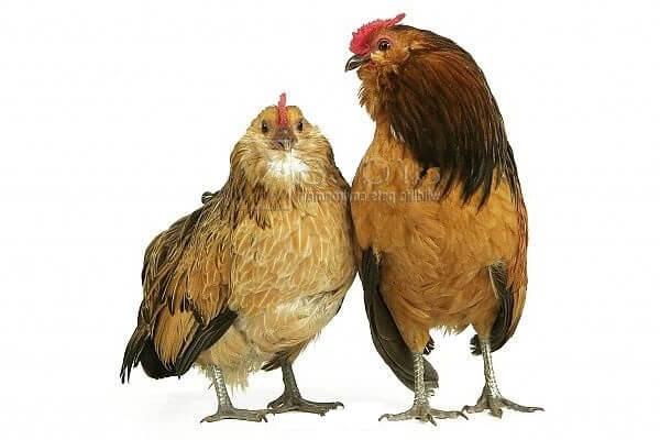 Антверпенская карликовая бородатая порода кур.