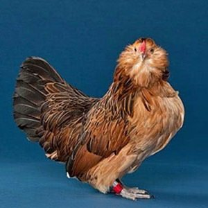 Антверпенская карликовая бородатая порода кур – описание с фото и видео.