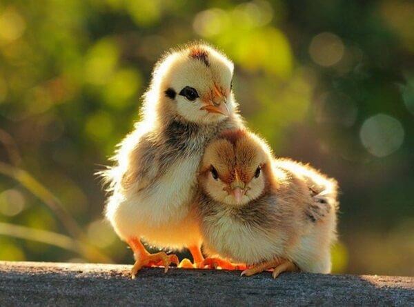 Цыплята Авиколор породы кур.