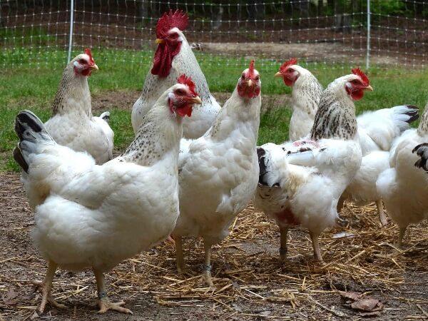 Делавэр порода кур – описание с фото и видео.
