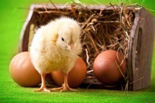 Суточный цыпленок породы Делавэр.