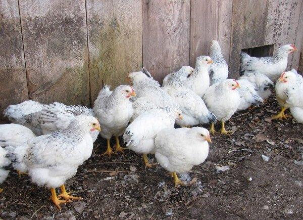Цыплята породы Делавэр.
