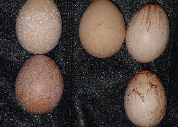 Проблемы яйцекладки у кур несушек.