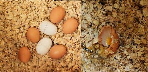 Куры клюют свои яйца.