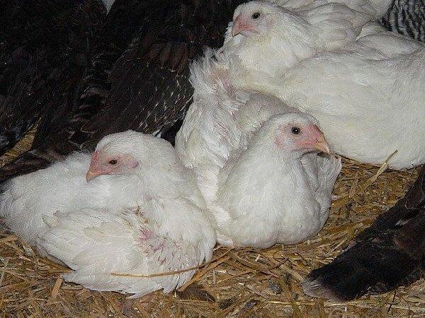 Канадские подрощенные цыплята Шантеклер породы кур.