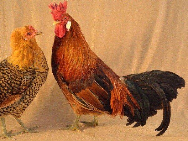 Петух и курица породы Сицилийский Баттеркап.