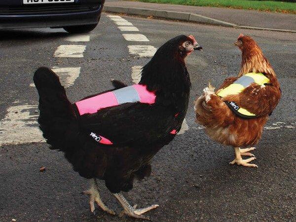 Английские курицы в светоотражающих жилетах.