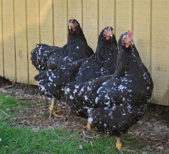 Яванская порода кур – описание с фото и видео.