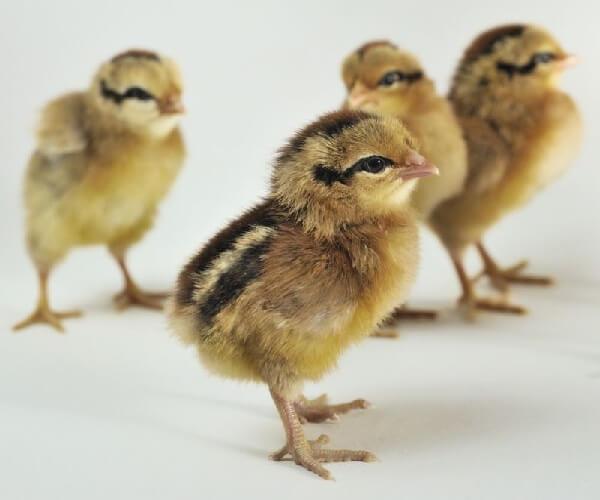 Зеленоножка цыплята.