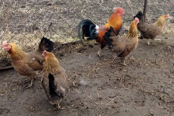 Зеленоножка порода кур – описание с фото и видео.