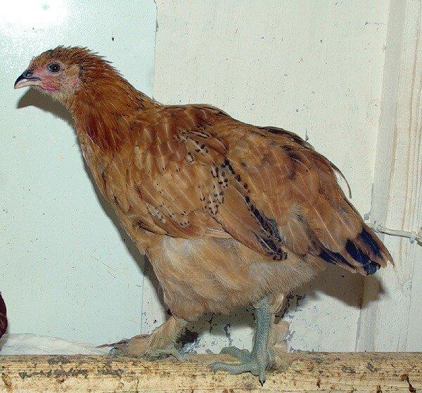 Зеленоножка подрощенный цыпленок.