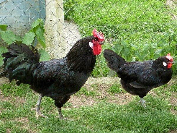 Петух и курица породы Аугсбургер.