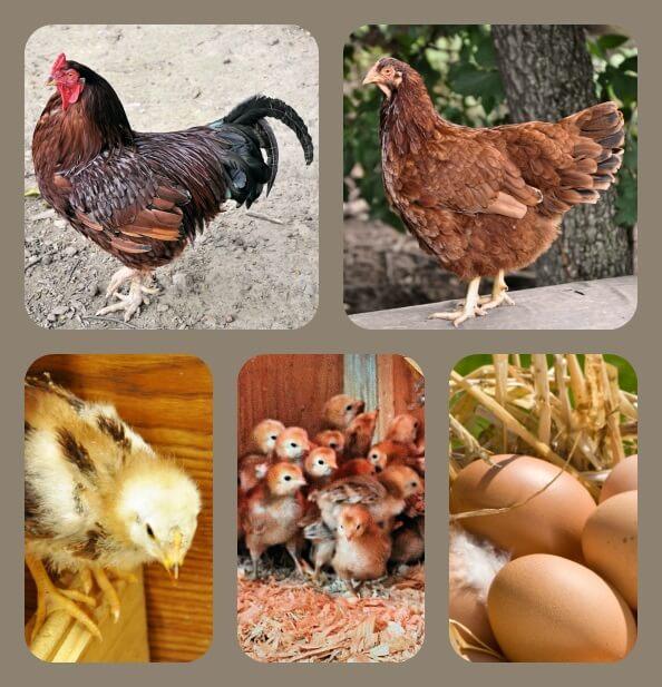 Бакей порода кур – описание с фото и видео.