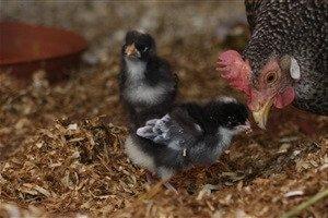 Немецкий ястреб порода кур - цыплята с квочкой.
