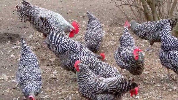 Немецкий ястреб порода кур – описание с фото и видео.