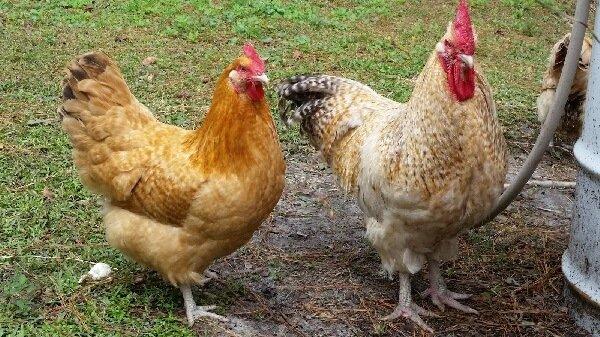 Петух и курица породы Нидерхайнер.