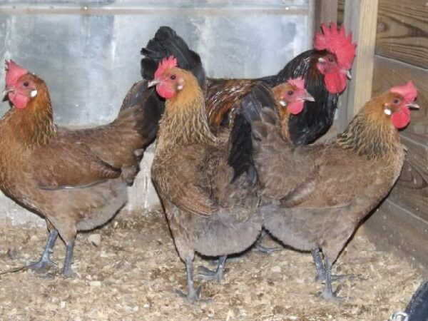 Пенедесенка порода кур – описание с фото и видео.