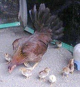 Сатсумадори цыплята.