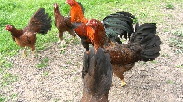 Сатсумадори петух и курицы.