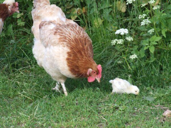 Курица несушка породы Сульмталер.