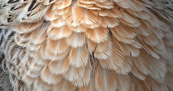 Яэрхюнс порода кур - оперение несушки.