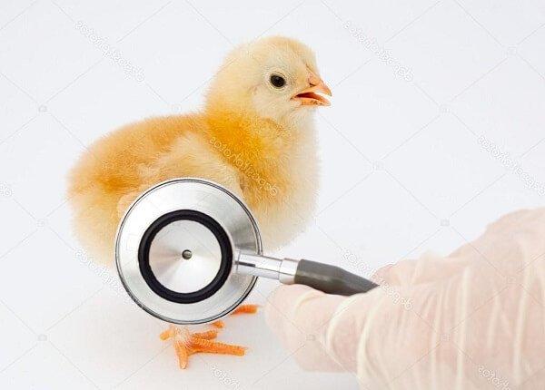 Болезни кур – симптомы и лечение, фото и видео.