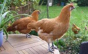 Рамельслоэр порода кур – описание с фото и видео.