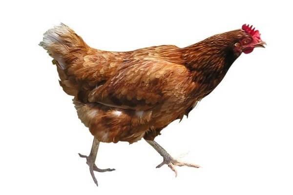 Ванараджа порода кур – описание с фото и видео.
