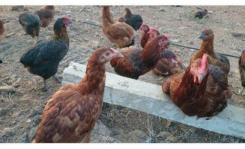 Ванараджа порода кур.