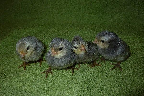 Суточные цыплята Барбу де Ватермаль породы кур.