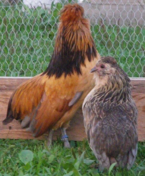 Барбу де Ватермаль порода кур – петух и курочка.
