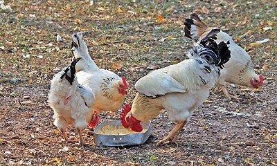 Эрмеллина ди Ровиго порода кур – описание с фото и видео.