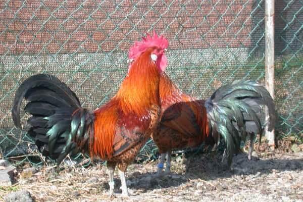 Романьола порода кур – описание с фото и видео.