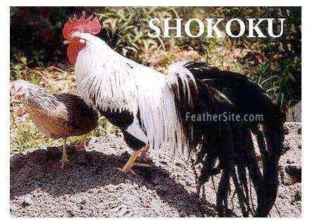 Шококу порода кур – описание с фото и видео.