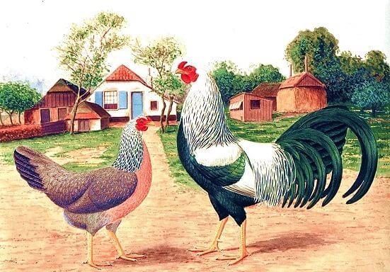 Краенкопп порода кур – описание с фото и видео.