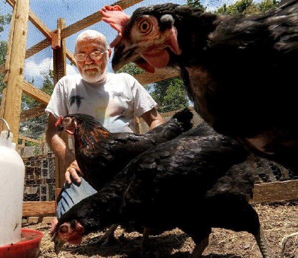 Курица и человек или как одомашнивали кур.