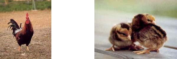 Пепои порода кур – описание с фото, характеристики.