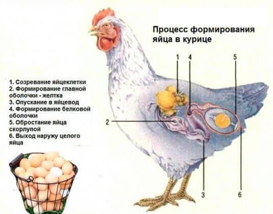 Яйцо в курице - как образовывается и развивается?