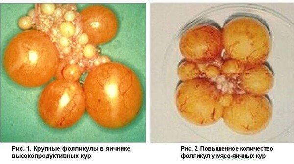 Яйцо в курице — как образовывается и развивается?