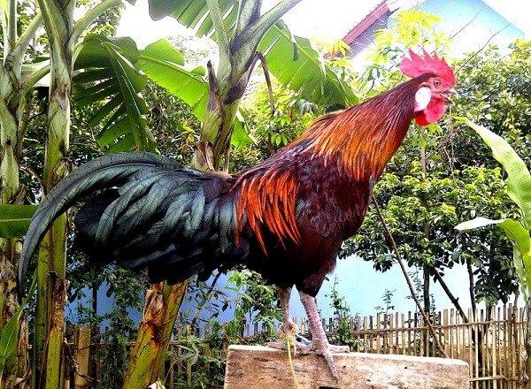 Аям Кетава порода кур – описание с фото и видео.