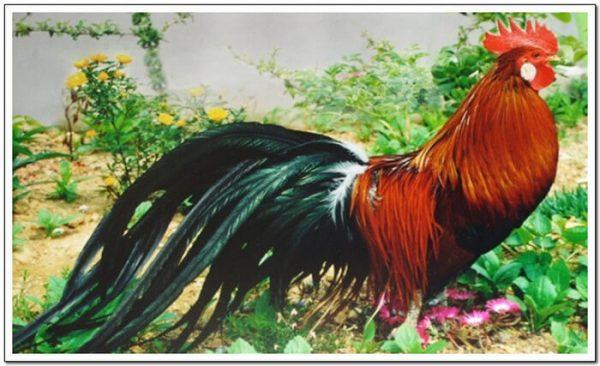 Джангмигай порода кур – описание с фото и видео.