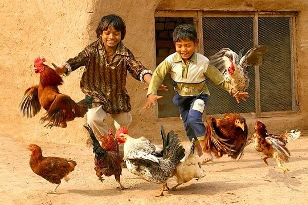 Курица умнее человека – сенсационные исследования ученых.