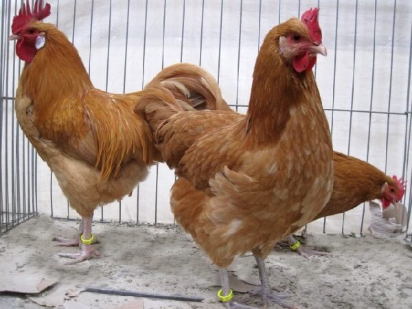 Саксонская порода кур – описание рыжих с фото и видео.