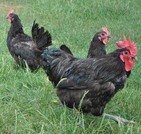 Янзе порода кур – описание с фото и видео.